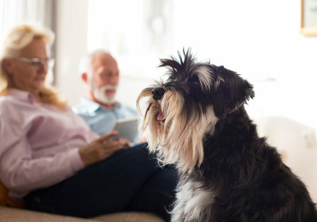 shutterstock_1214020849 older couple witj schnauzer